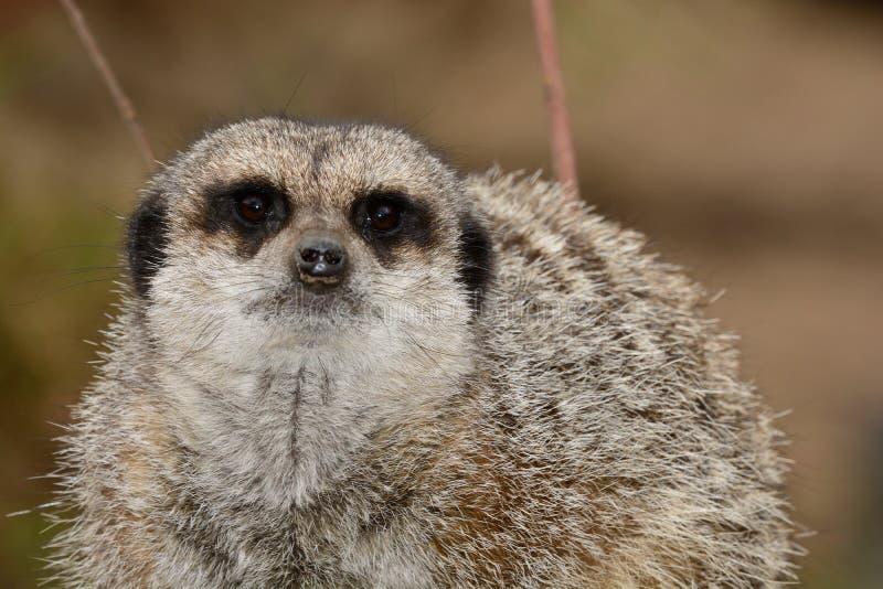 meerkat的纵向 库存图片