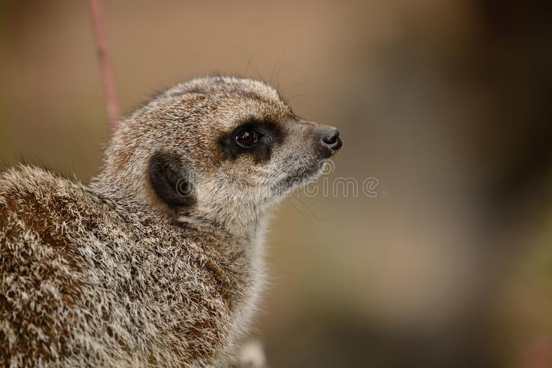 meerkat的纵向 免版税图库摄影