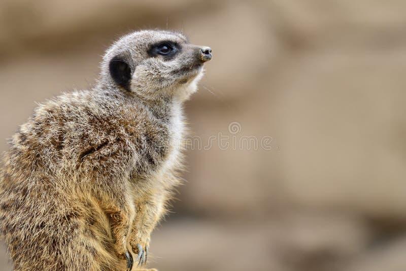 Meerkat纵向 免版税图库摄影