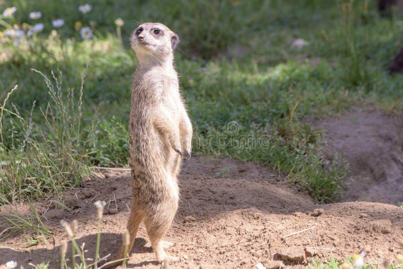 Meerkat,自然行为,注意敌人 免版税库存图片