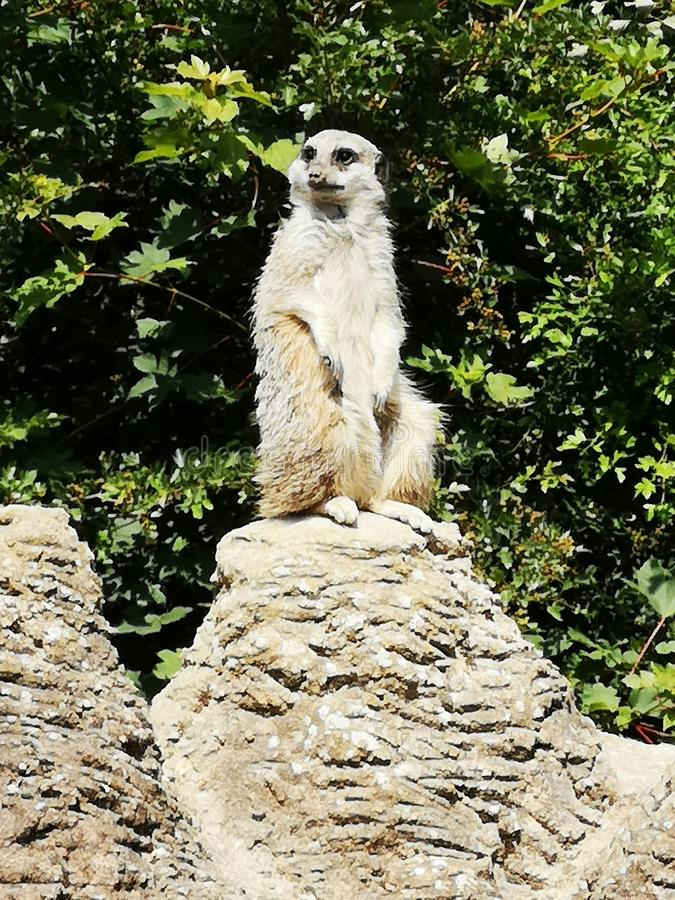 Meerkat στοκ εικόνα