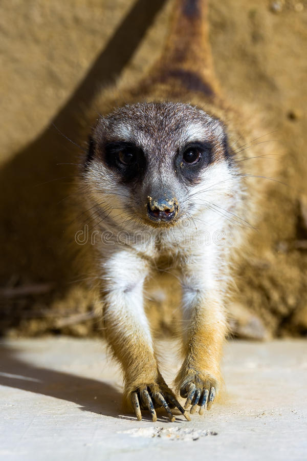 Meerkat που ανατρέχει στη κάμερα στοκ φωτογραφίες
