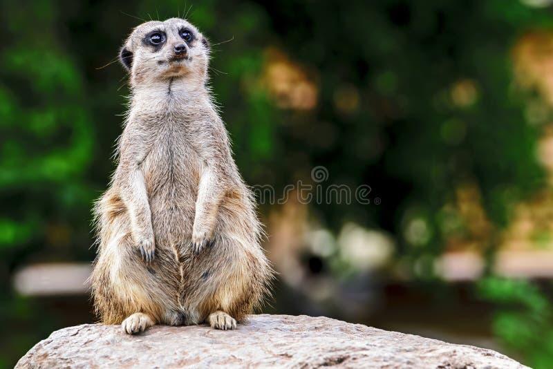 Meerkat στην αιχμαλωσία - στη φρουρά - κλείδωμα μπροστινό στοκ φωτογραφία