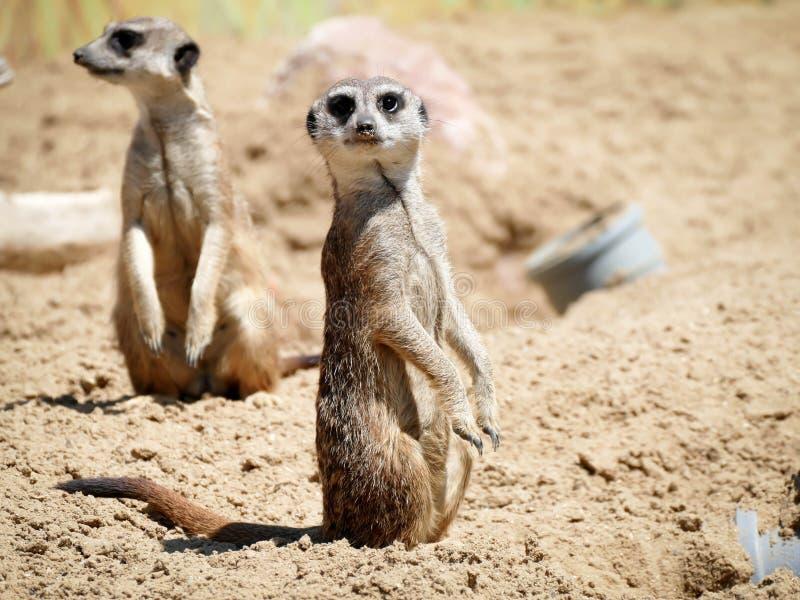 Meerkat στο πάρκο φύσης στοκ εικόνες