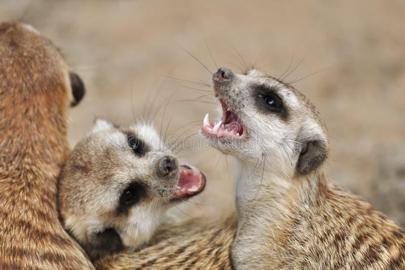 meerkat στόμα ανοικτό στοκ φωτογραφία