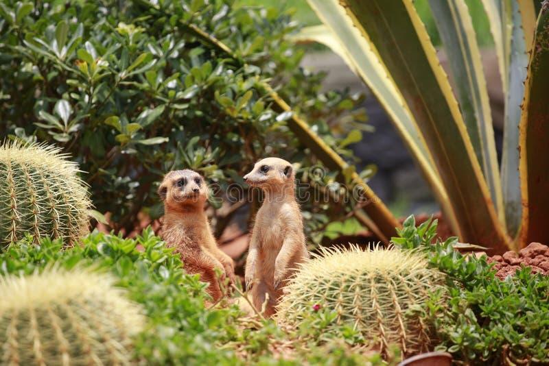 Meerkat вид худенького тела с короткими лимбами, небольшой головы, небольших ушей, подсказки рта, питаясь на змейках, лягушки, ры стоковое фото rf