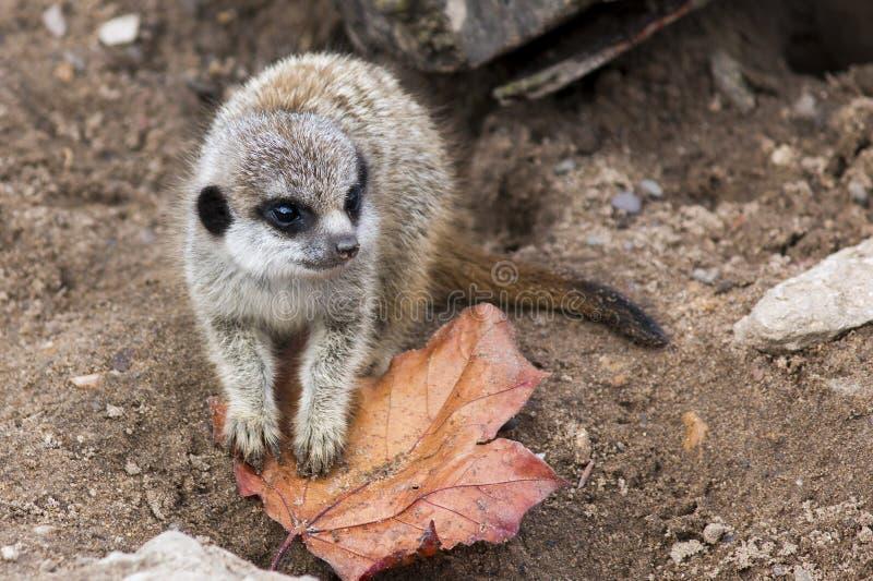 meerkat младенца стоковое изображение rf