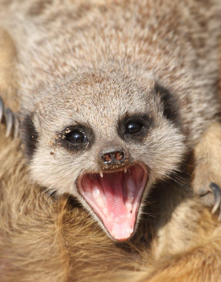 Meerkat показывая зубы стоковое фото rf