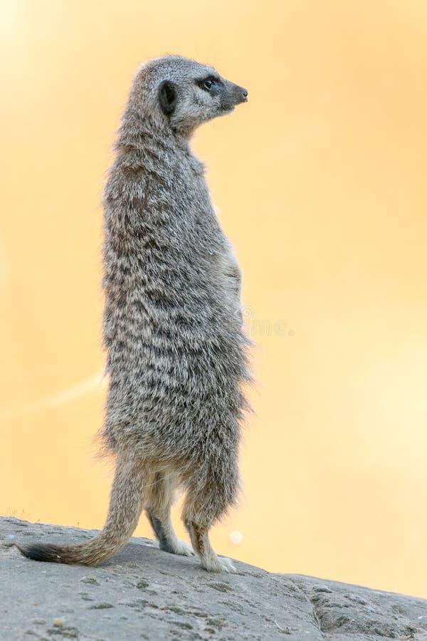 Meerkat распологая вверх на утес стоковое фото rf