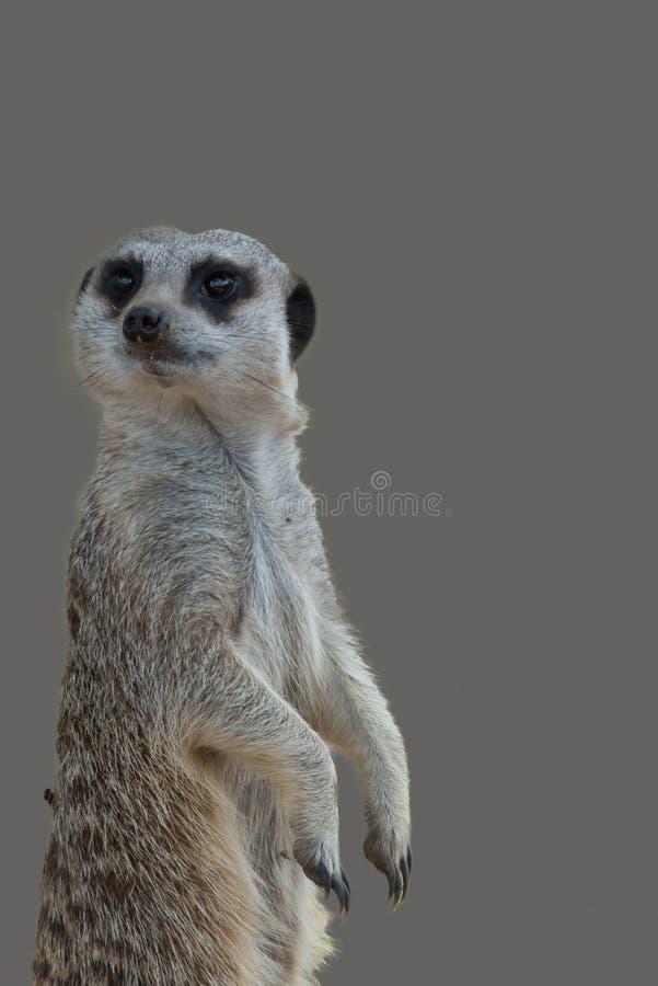 Meerkat самостоятельно на серой предпосылке стоковое фото rf