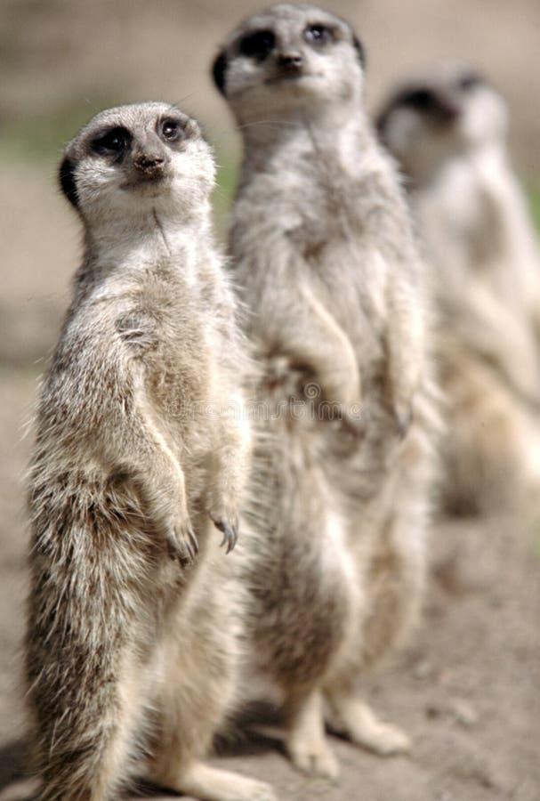 meerkat семьи стоковые изображения rf