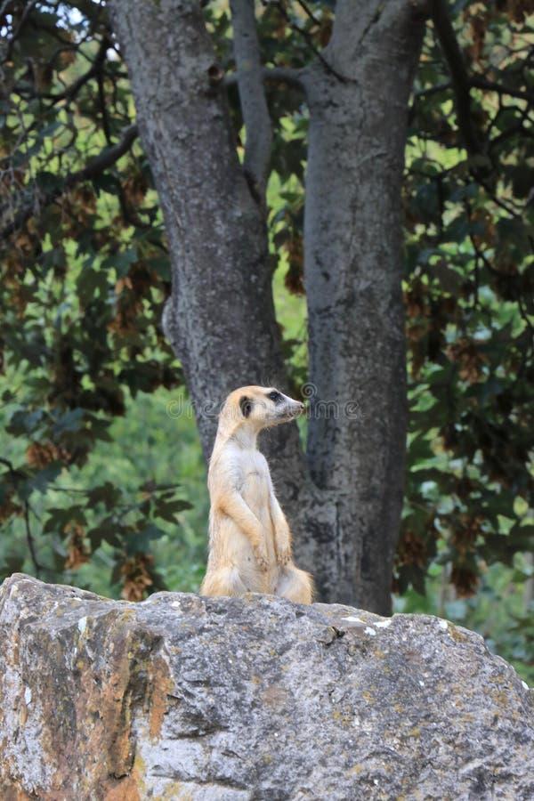 Meerkat сидя на камне стоковая фотография