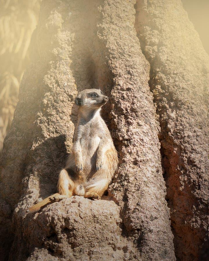 Meerkat сидя на утесе стоковое фото rf