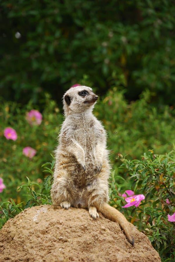 Meerkat сидя на камне стоковые изображения rf