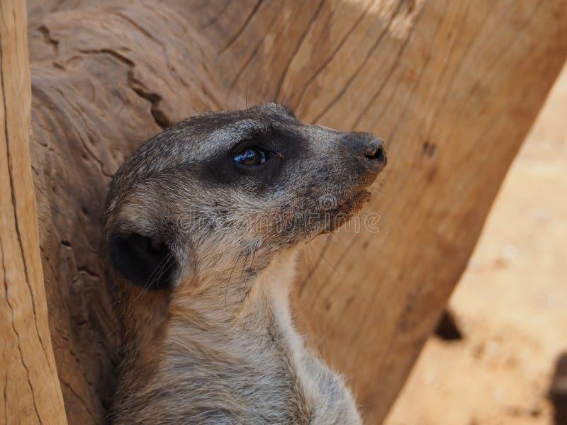 Meerkat, также известное как suricate стоковое изображение rf