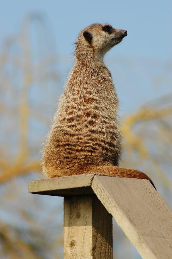 Download Meerkat stock image. Image of perch, tail, meerkat, animal - 101157