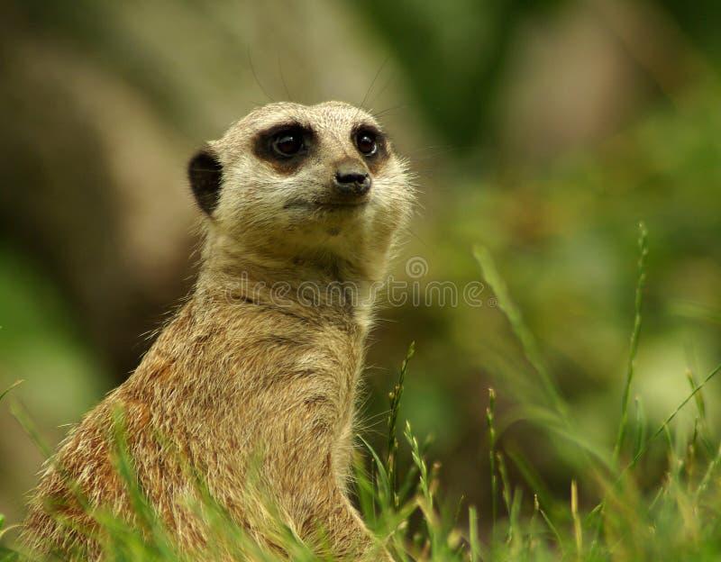 Meerkat royalty-vrije stock afbeelding