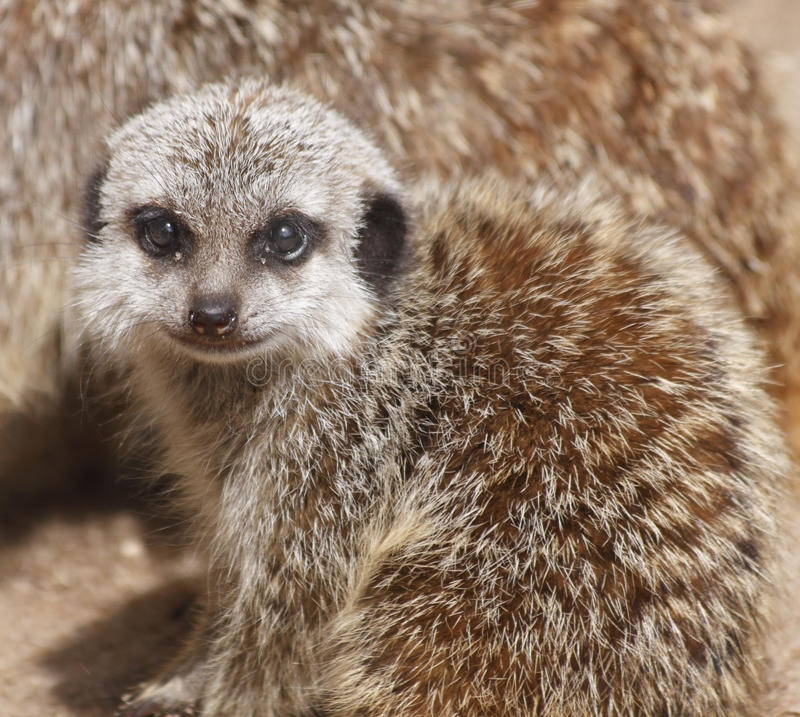 Cute baby meerkat royalty free stock images