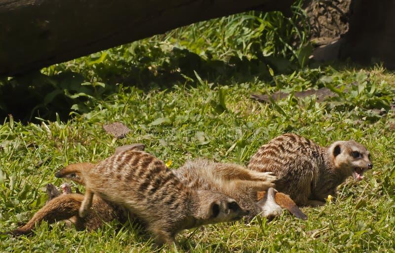 Download Meerkat stock photo. Image of africa, wilderness, play - 14654566