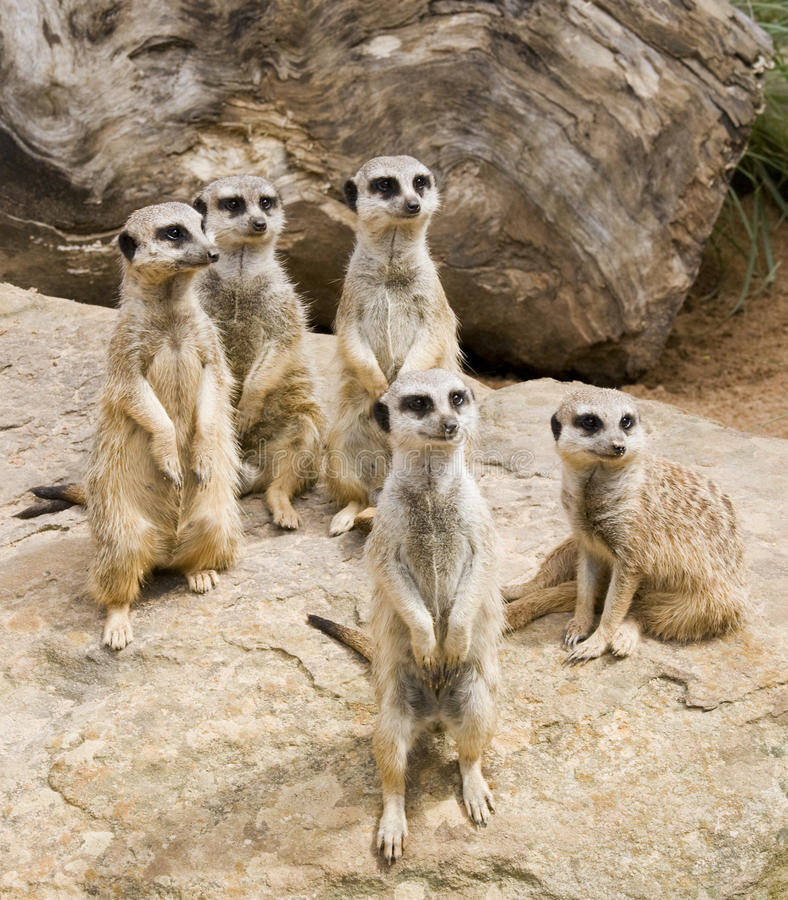 Download Meerkat stock photo. Image of meercat, guard, sitting - 14859644