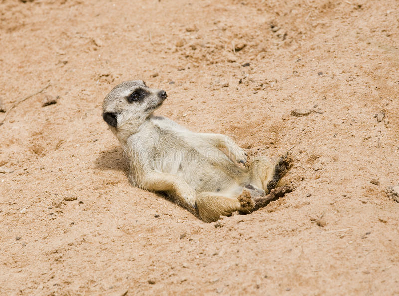 Download Meerkat stock image. Image of creature, cute, meerkat - 14859651