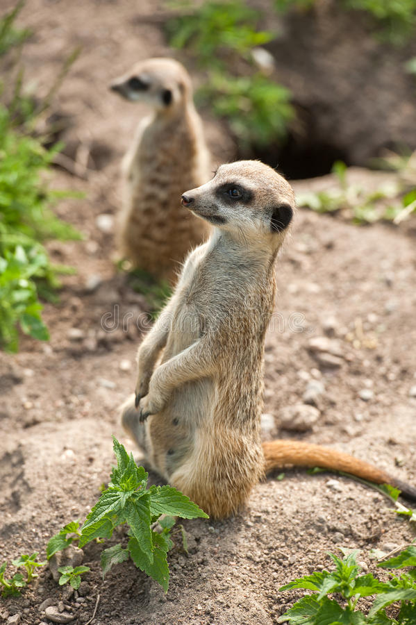 Download Meerkat stock photo. Image of animal, whiskers, wild - 20129814