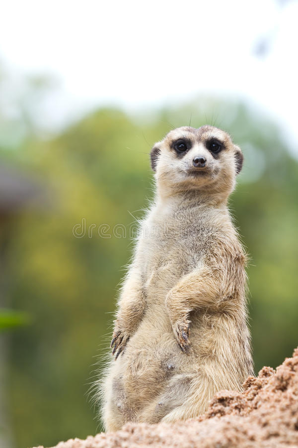 Download Meerkat stock image. Image of adapted, sitting, african - 20368037