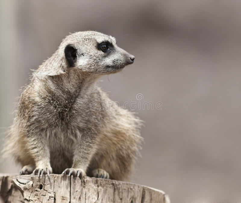 Meerkat. A close up shot of a meerkat (Suricata suricatta) looking at something off in the distance. This mammal is a member of the mongoose family and lives in stock photography