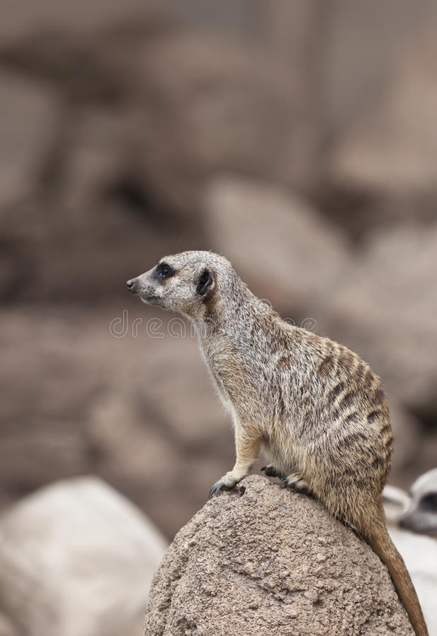 Meerkat. A close up shot of a meerkat (Suricata suricatta) looking at something off in the distance. This mammal is a member of the mongoose family and lives in stock images
