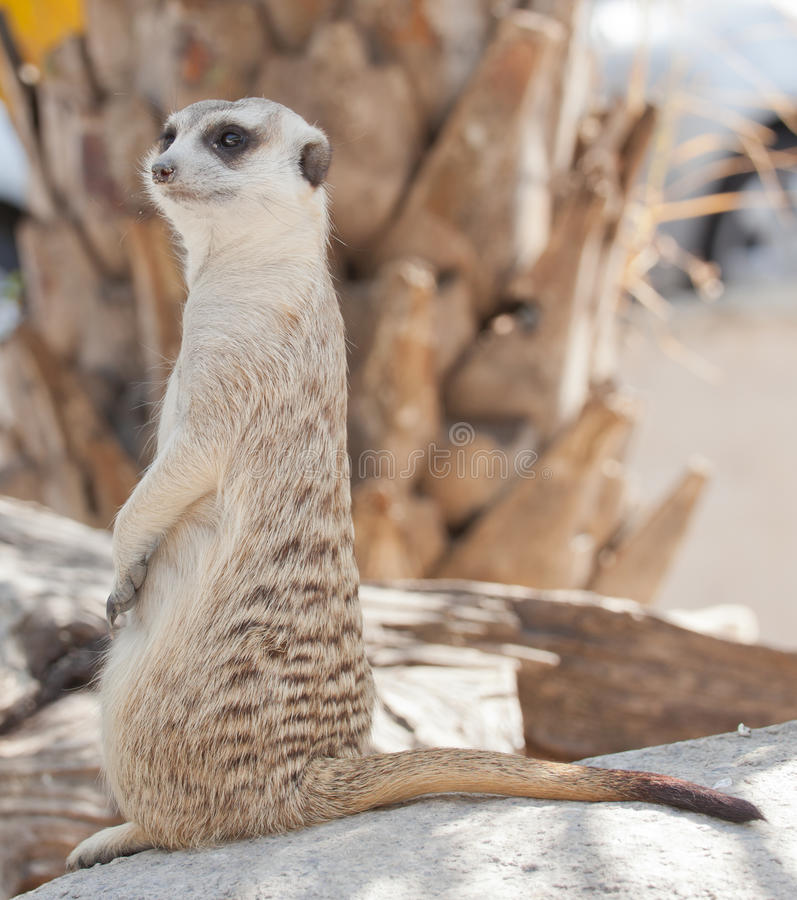 Download Meerkat stock image. Image of conservation, guard, mouth - 22885603