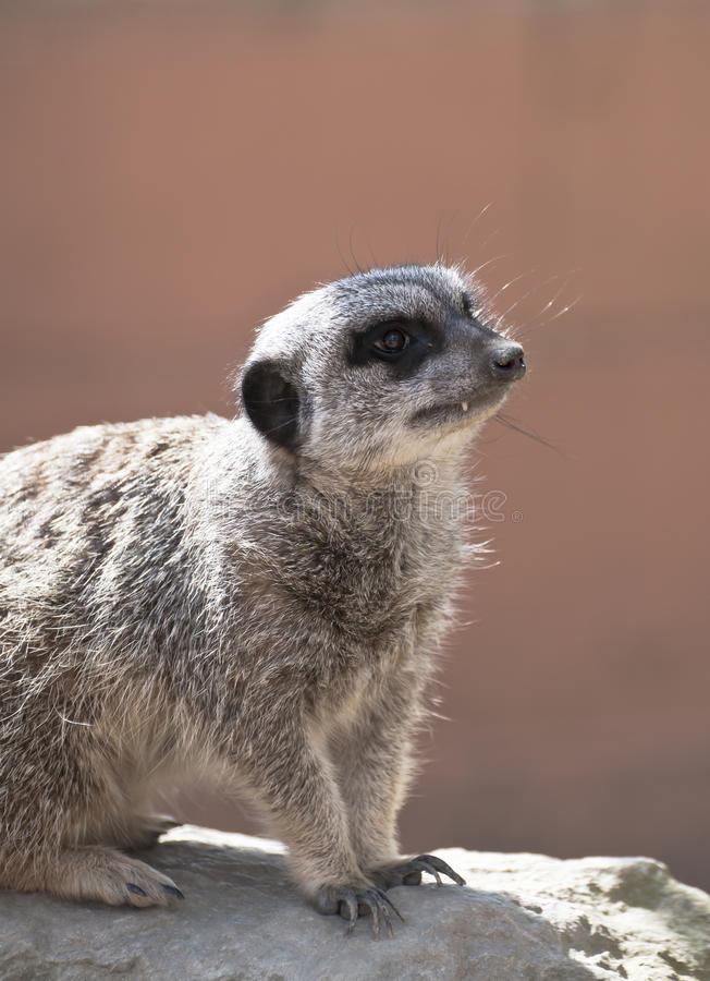 Download Meerkat stock photo. Image of south, desert, southern - 24375016