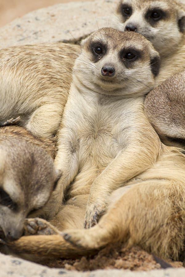 meerkat royaltyfri bild