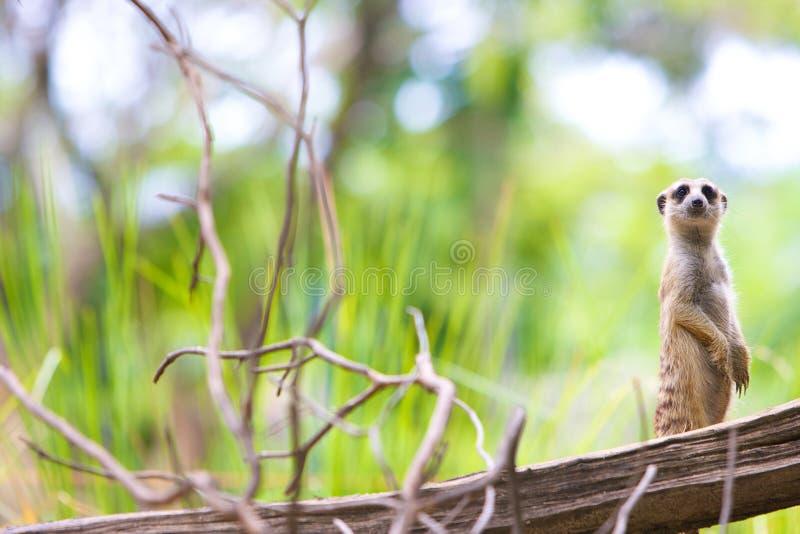 Download Meerkat stock image. Image of standing, watch, animal - 25541667