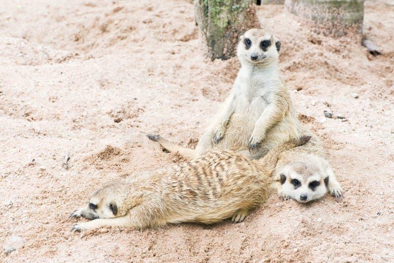 Download Meerkat arkivfoto. Bild av familj, ögon, litet, päls - 27286026