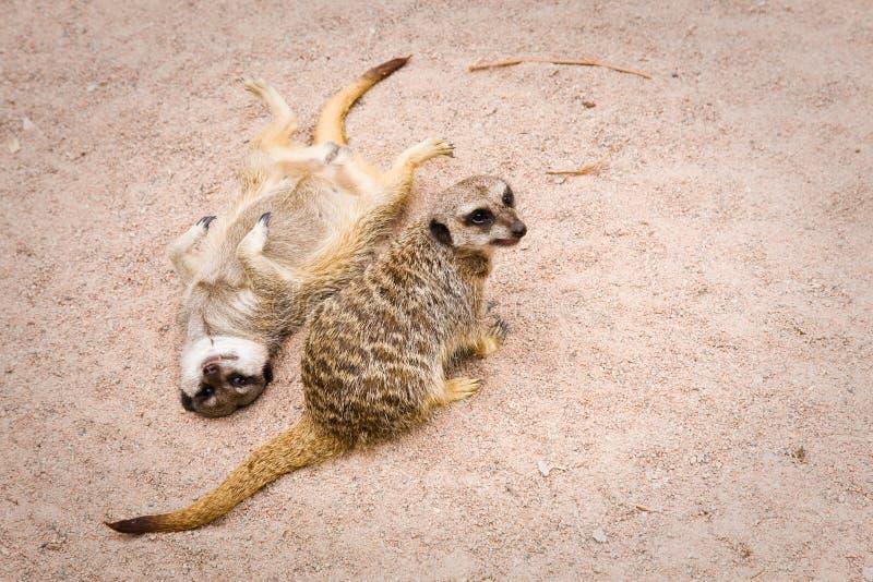 Download Meerkat stock photo. Image of suricate, african, animals - 27391124