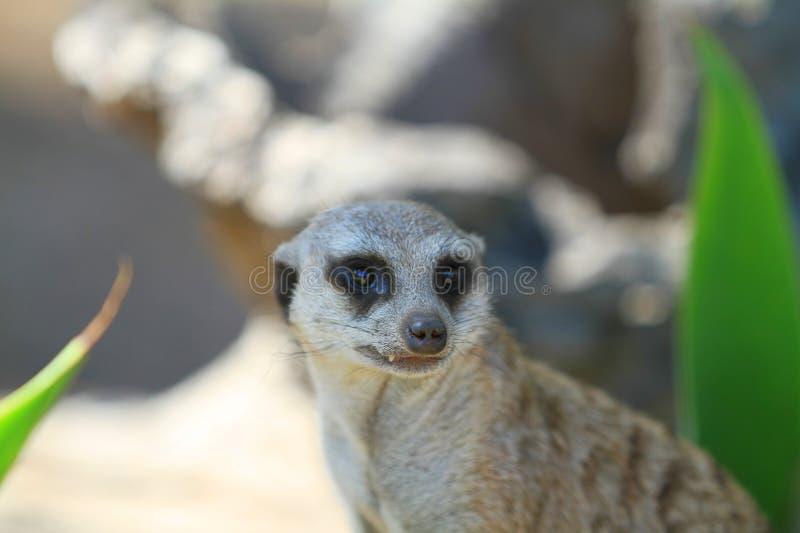 Download Meerkat stock image. Image of ecology, family, meercat - 29520661