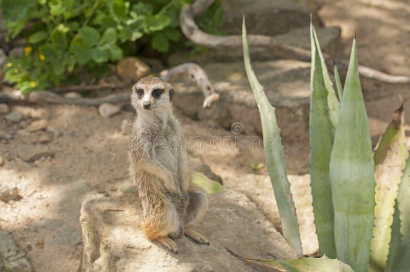 Meerkat στοκ εικόνα με δικαίωμα ελεύθερης χρήσης