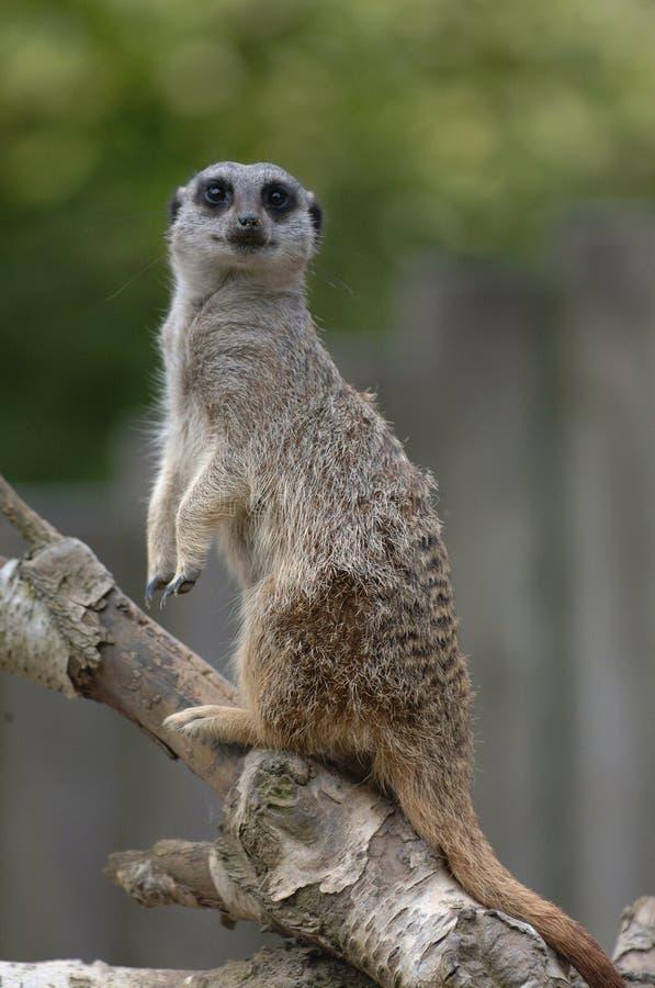 Download Meerkat stock image. Image of social, branch, wide, mongoose - 415169