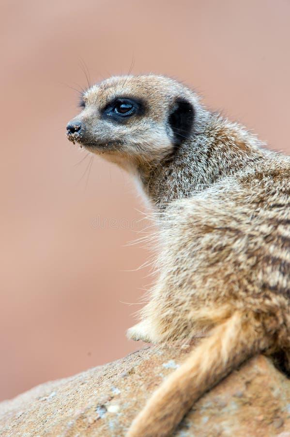 Meerkat стоковые изображения rf