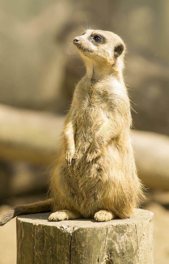 Meerkat stockfotografie