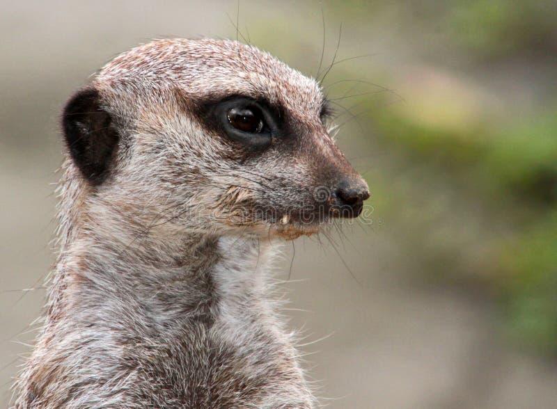 Meerkat royalty-vrije stock foto