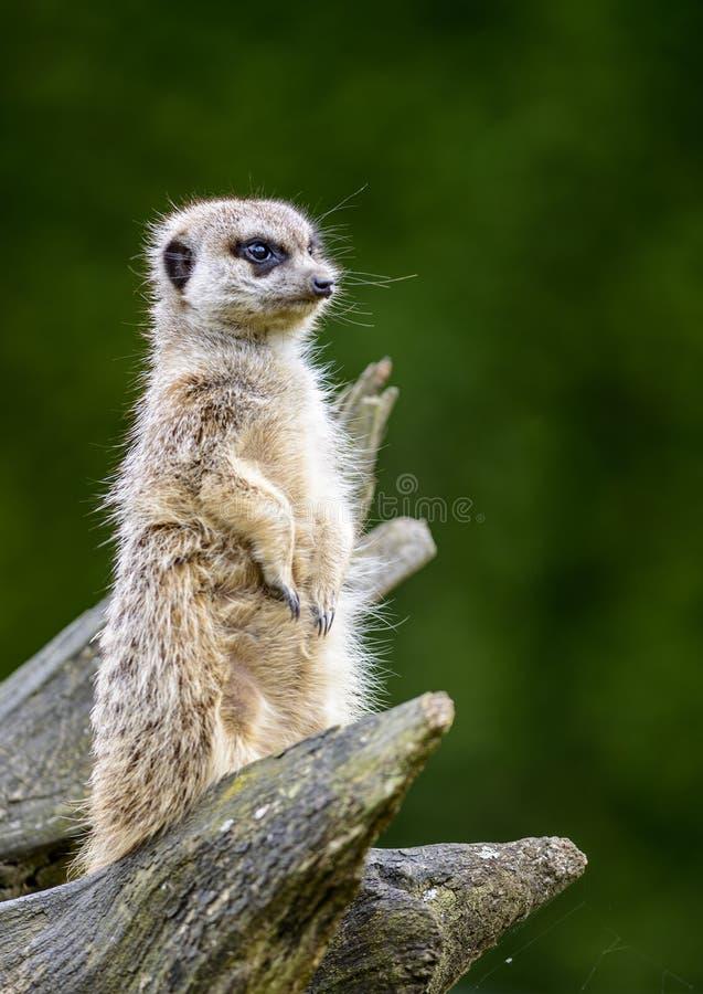 Meerkat photographie stock