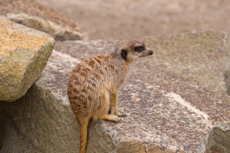 Meerkat photos stock