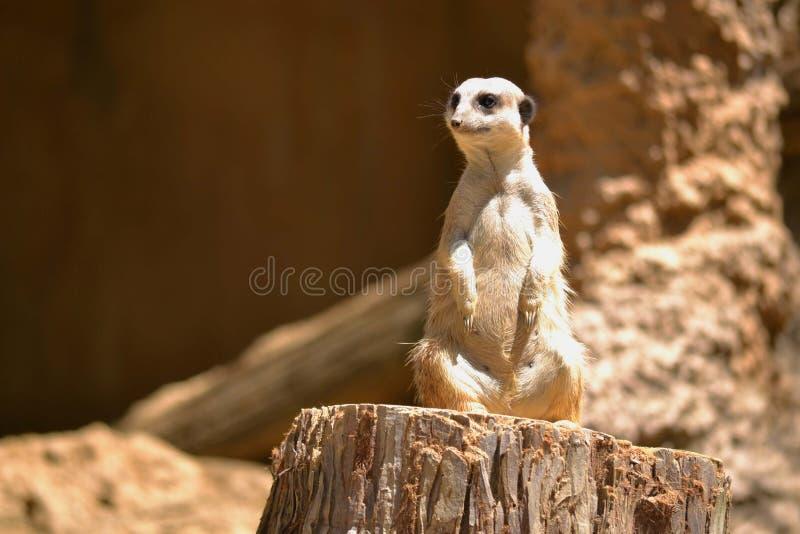 Meerkat royaltyfri fotografi