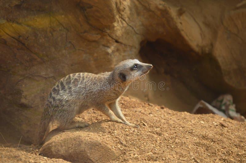 Meerkat стоковое фото rf