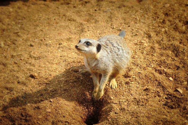 Meerkat стоковая фотография