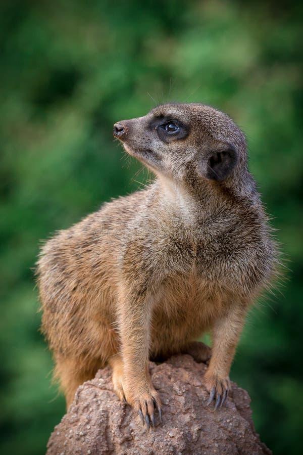 Meerkat stockfotos