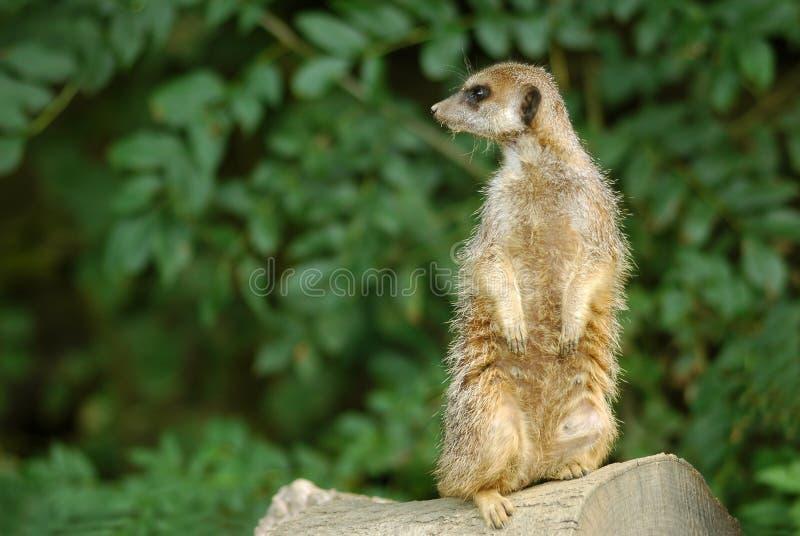 Meerkat royalty-vrije stock fotografie