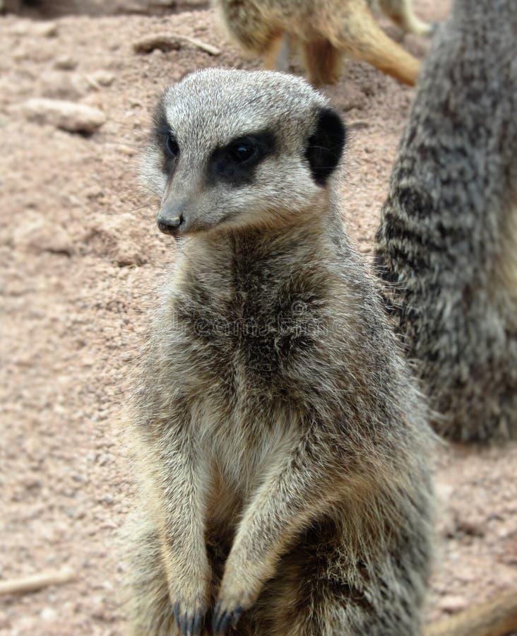 Meerkat images libres de droits