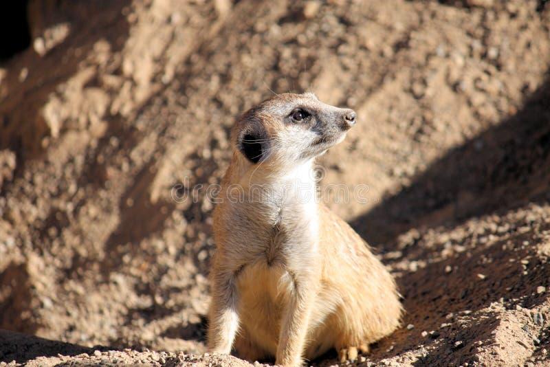 Download Meerkat stock photo. Image of nature, guard, sentry, herpestidae - 7186490